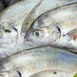 Cá Diễn tại biển Phú Quốc