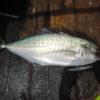 Cá Hiếu tại biển Phú Quốc