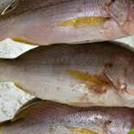 Cá Hồng, cá róc lưới lặn tại Phú Quốc