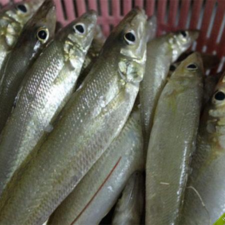 Cá đục vàng biển Phú Quốc