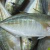 Cá ngân bột tại Phú Quốc