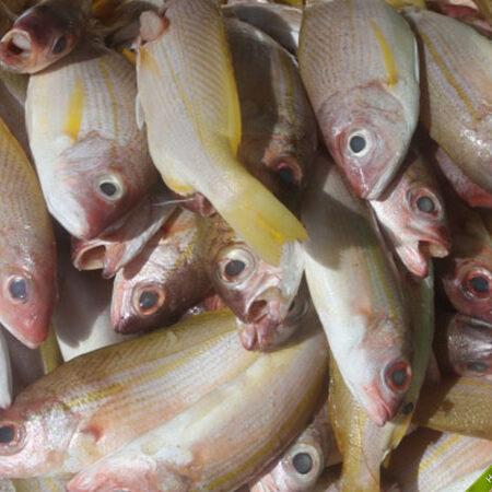 Cá róc chỉ (vàng) kho mỡ ớt rất ngon