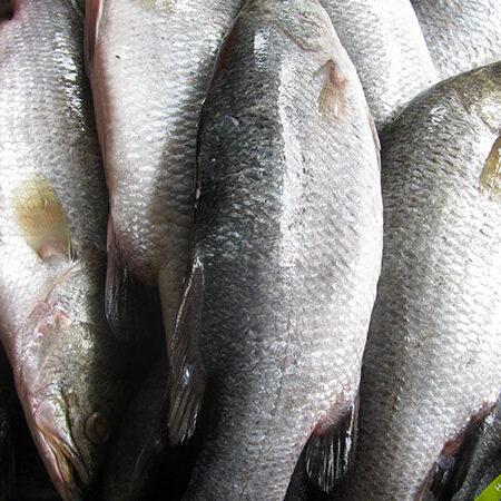Cá Chẽm Phú Quốc lớn nhỏ các loại