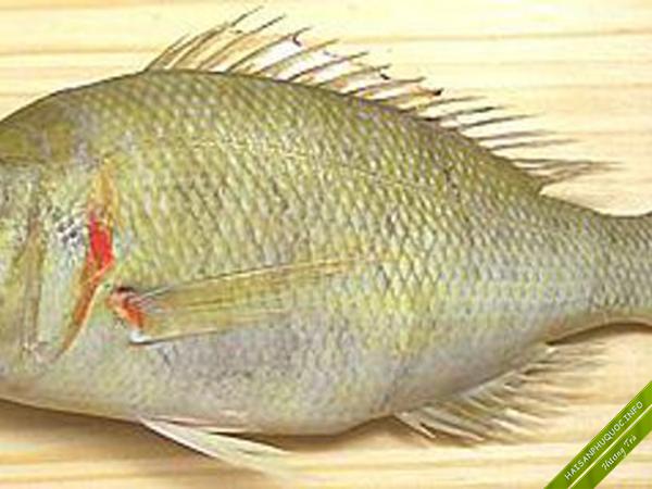 Cá Gáy Phú Quốc