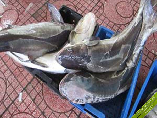 Bạn nghĩ đây là cá Bớp nuôi hay cá Bớp biển?