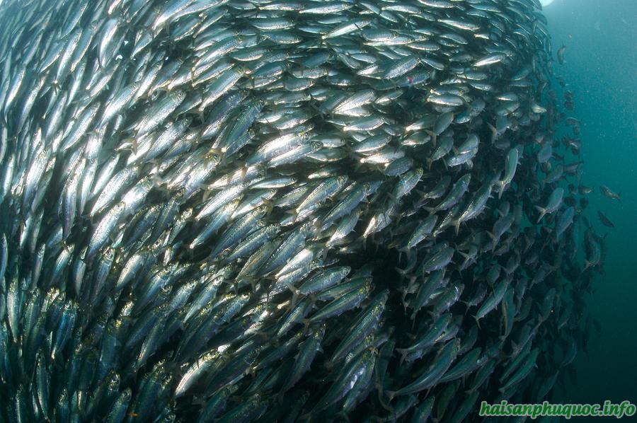 Mùa vụ cá trích tại Phú Quốc