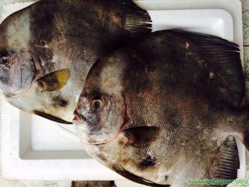 2 con cá tai tượng lớn đặt trên nắp thùng xốp