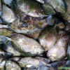 Cá Dìa Bông tươi sống