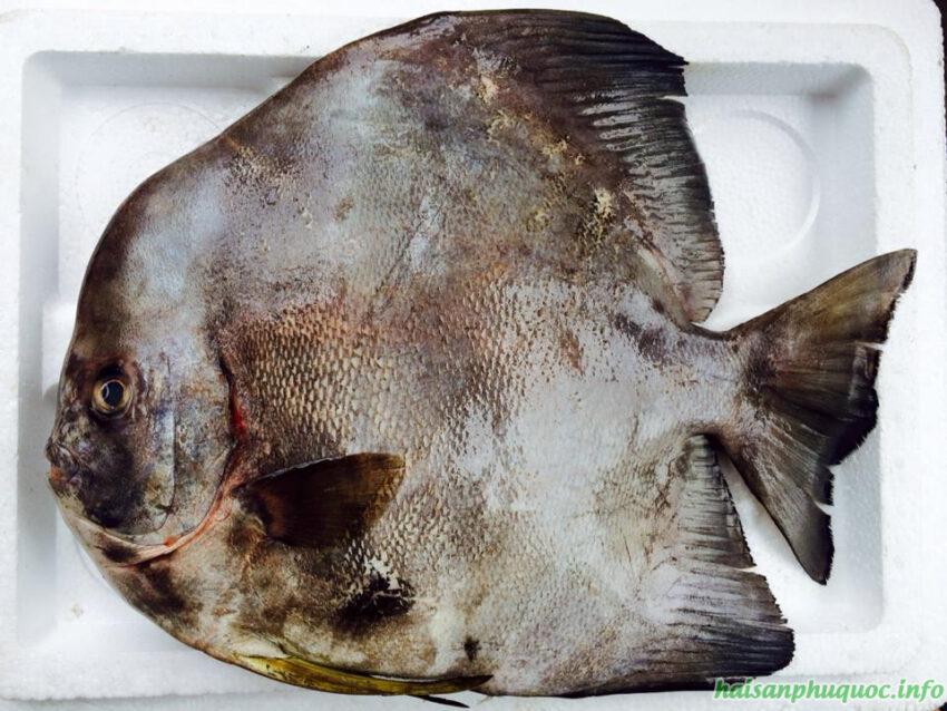 Cá tai tượng cỡ lớn