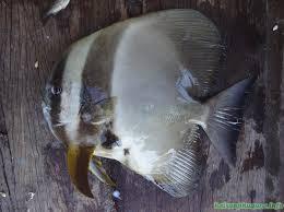Cá Tai tượng còn sống lúc bắt lên